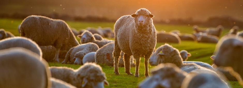 Burford sheep relaxing at sunset