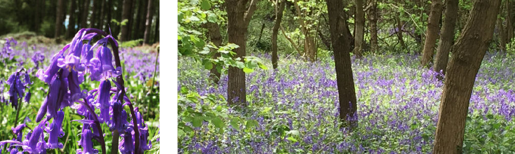 cotswolds-bluebells-oversley-woods-manor-cottages-blog.jpg