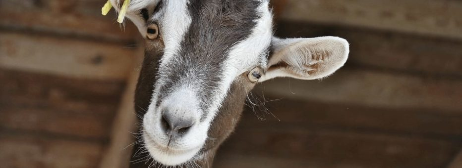Goat peeking at camera at Cogges Manor Farm