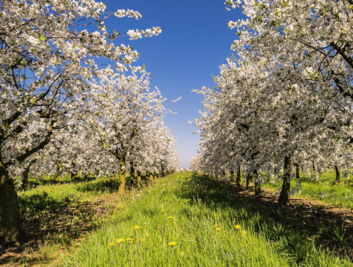 Apple orchard in Stroud in spring