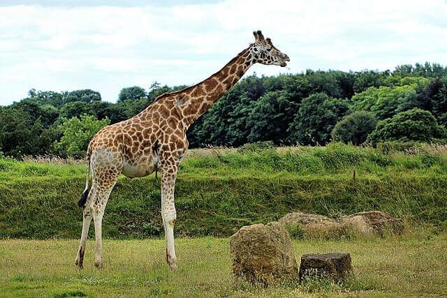 Giraffe at the zoo in Burford